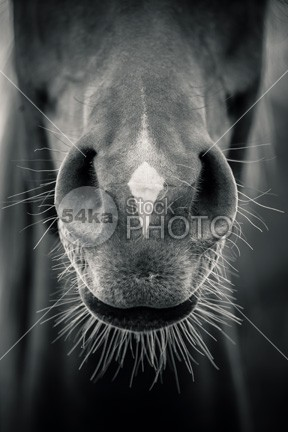 Horse Muzzle – Close Up Black and White Horse Head work wild summer Style stallion Skin rural photo palomino nature mare mane mammal long light large horse head horse heavy hair giant gentle gelding fur freedom free field Fashion farm equine equestrian beauty equestrian economy dray draught draft domestic detail Culture countryside coat close chestnut breed big beautiful Art animal 54ka StockPhoto