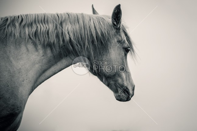 Beautiful Lonely White Horse II nature muzzle Motion mare mane Mammals mammal long lonely white horse lonely light horses horse hoofed home high head hair grey greenery green gray grass gelding Front View front force field fauna farm fall eye equitation equine equestrian beauty equestrian emotions domestic brush breed black and white beauty beautiful b&w autumn Art arabian arab animal andalusian alone 54ka StockPhoto
