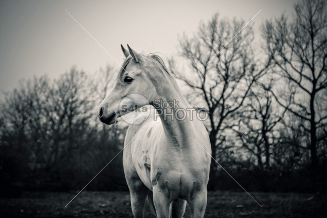 Beautiful Lonely White Horse – Horse Portrait nature muzzle Motion mare mane Mammals mammal long lonely white horse lonely light horses horse hoofed home high head hair grey greenery green gray grass gelding Front View front force field fauna farm fall eye equitation equine equestrian beauty equestrian emotions domestic brush breed black and white beauty beautiful b&w autumn Art arabian arab animal andalusian alone 54ka StockPhoto