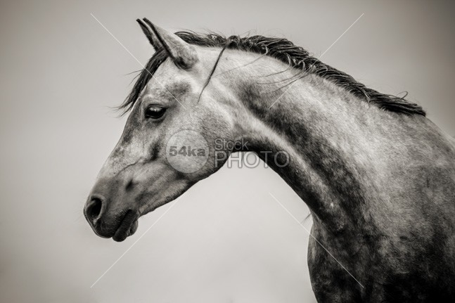 Beautiful Black And White Horse Head white stud strength stallion purebred profile portrait pferde pets pedigree outside one object nobody neck nature movement monochromatic mark mane mammal lunging lunge livestock line Leather isolated horse horizontal headstall head grace farm equine equestrian coat close circle cheek buckle brown black and white black bit beauty beautiful background back arabian animal 54ka StockPhoto