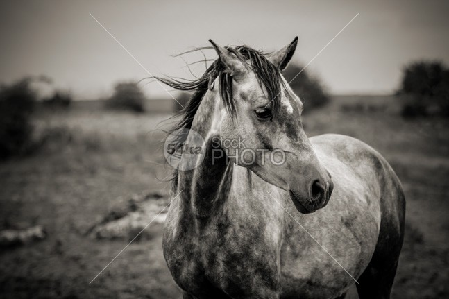 A Horse In Profile In Black And White – Horse Mane and Wind one nose neck nature moving Motion monochrome mare mane mammal Male low livestock light lens isolated icelandic horses horse head ground freedom free forward force field fast farm eyes eye equine equestrian emotions emotion domestic content cloud closeup close classic Cheerful bridle black beautiful beast autumn Art animals animallife animal angle 54ka StockPhoto