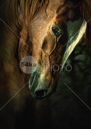 Brown horse portrait Art Photography outdoor one nose neck nature mare mane mammal Male looks looking light large image horseback horse hoofed head golden gelding freedom foreground Feelings eye equus equine equiestrian equestrianism equestrian beauty equestrian draft horse domesticated domestic details design day dark color closeup caballus brown bridle black background black big beauty beautiful background Art animals animal 54ka StockPhoto