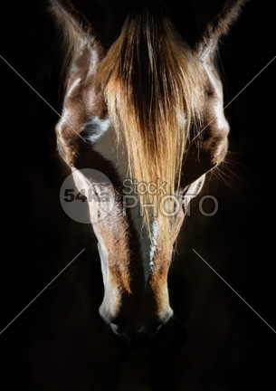 Horse Head Portrait Art Photography pretty portrait pony ponies photo outside outdoor observant nostrils meadow mane Mammals mammal looks looking look livestock horses horse herbivorous head gorgeous gazing field farm facial face eye expression equines equine equestrian beauty equestrian ears details detail dark background dark closeup close brown breed bred black background black beautiful background attentive Art animals animal against 54ka StockPhoto
