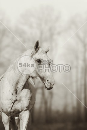 Beautiful Lone white wild horse Art Photography regal rainy rain pony pet outside outdoors outdoor nose neck nature natural nag mustang mane lonely lone life legs landscape impressive image horse hoof head graze grassy free Fog field face eyes equine equestrian beauty ear domestic destination day countryside country coast clouds broken blue beauty beautiful back Art Arabian Horse animal alone 54ka StockPhoto