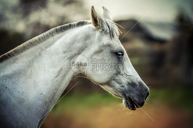 Equine portrait White horse head old october nature Morning meadow mare mane Mammals mammal Looking At Camera lonely white horse lonely landscape format landscape horse horizontal format home head grey greenery grassland grass gelding Foggy Fog field farmland farm eye contact eye europe equine photography equine equestrian photo equestrian beauty domesticated Dawn countryside country Copy Space color cloud britain beauty beautiful autumn atmosphere animal alone 54ka StockPhoto
