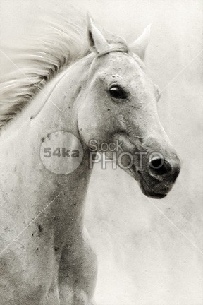 The White Horse II – Equestrian Portrait wildlife wild white stallion spring soft rural racehorse purebred pretty portrait pony pet outside one old neck nature mane mammal light key isolated horse high head hairy hair grey gray eye equine equestrian beauty equestrian elegant domestic cute closeup close-up brown bright body blue black beauty beautiful background arabian arab animal 54ka StockPhoto