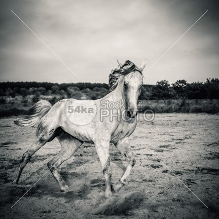 Beautyful white horse galloping Black and White photography power nature moving movement Motion mare mane mammal Male light jump isolated horse hoofed herd ground grey gray gelding Galloping gallop freedom free forward force fight fastest fast farm evening equitation equine equestrian beauty equestrian emotions dust domestic Desert dark cloud brown black beauty equine beautiful beautifu beast Art animal andalusian amazing horse alone 54ka StockPhoto