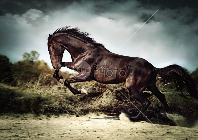 Beautiful black stallion horse running on the stormy sky II power photo pets pet paddock outdoors outdoor one nice neck nature Motion mare mane mammal looking light horsepower horse horizontal gray grass grace Galloping gallop foal flying flight eye equine equestrian beauty equestrian energy ear domestic cute color cloud chestnut camera brown body blue black beautiful bay Art arabian arab animals animal action 54ka StockPhoto