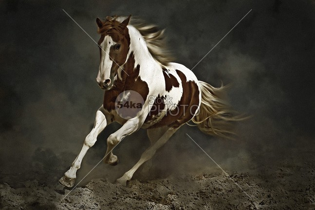 Pinto Horse in Motion wildlife wild white training Tail Standing ranch racer race Pose portrait pony pinto photo-manipulation pet painting paint nature natural Motion mare mane mammal isolated horses horse head grey gray freedom free field equine equestrian beauty equestrian elegant dressing brown black beautyful beauty background artistic Art arabian arab animal amazing active abstract 54ka StockPhoto
