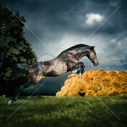 Jumping Black Stallion young thoroughbred strong stallion speed Running run power photography photo outside one moving move mammal jumping jump horse gallop fast equine equestrian beauty equestrian domestic color breed Black Horse black beauty beautiful Art animal amazing animal action 54ka StockPhoto