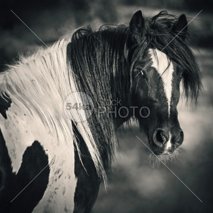 Tinker Horse Portrait photo nature mare mane mammal Looking At Camera looking long mane irish tinker horse head horse face horse horizontal history head Harness gypsy cob gypsy foreground farm face equestrian photography equestrian beauty elegance driver dressage domestic day dapple gray color close-up bridle Black Horse black background black and white photography black and white black beauty beautiful background b&w Art Animal Head animal eye animal 54ka StockPhoto