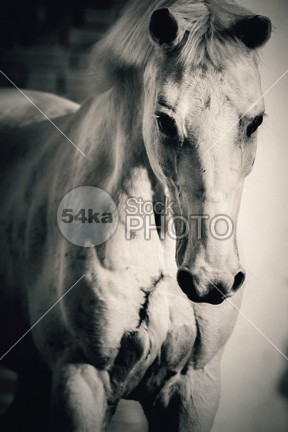 White horse close up portrait photo horse grey gorgeous gelding fragility fragile forelock focus on foreground focus flea farm face eyelash eye equus equine equestrian elegance ear domesticated domestic animals domestic detail day curious colour Color Image color closeup close-up close caballus bridle breed body black background black bitten beauty beautiful background b&w image artistic Art Arabian Horse animal wildlife animal themes Animal Head animal body part animal 54ka StockPhoto