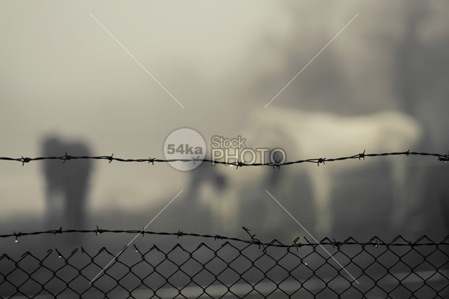 Horses in the mist behind barbed wire photo majestic looking length landscape isolated images Idyllic horses horse graceful grace full front freedom fine fields fence farm eye exploitation equine equestrian enclosure dragani domesticated domestic detention daytime day curious curiosity countryside country contact Concept clouds Candid camargue blured focus black behind barriers barrier barren barbwire barbed-wire barbed Art animals animal 54ka StockPhoto