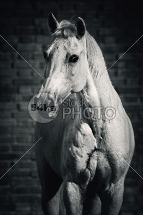 Horse portrait on the brick background II young wisdom wild white horse white vertical trotter thoroughbred summer strong stallion stable space sky purebred portrait photo outside one nature Motion mare mane mammal Male light horse hoofed high head front equine equestrian beauty equestrian emotions domestic clear bend beauty beautiful Art arabian arab animal 54ka StockPhoto