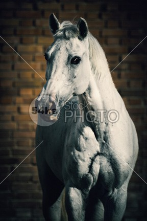 Horse portrait on the brick background young wisdom wild white horse white vertical trotter thoroughbred summer strong stallion stable space sky purebred portrait photo outside one nature Motion mare mane mammal Male light horse hoofed high head front equine equestrian beauty equestrian emotions domestic clear bend beauty beautiful Art arabian arab animal 54ka StockPhoto