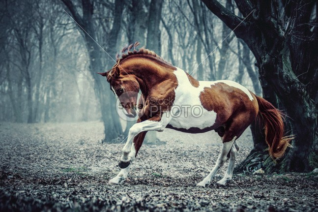 Paint horse in the frozen forest trot trakehner thoroughbred teke Tail summer stallion spring side view rural red purebred pinto photo pets painted paint horse paint outdoors one nostrils nature Motion meadow mare Mammals mammal love leisure landscape horses horse haze furry frozen frost forest field equine equestrian beauty equestrian dusk cold close chestnut brown beautiful bay background Art animals animal 54ka StockPhoto