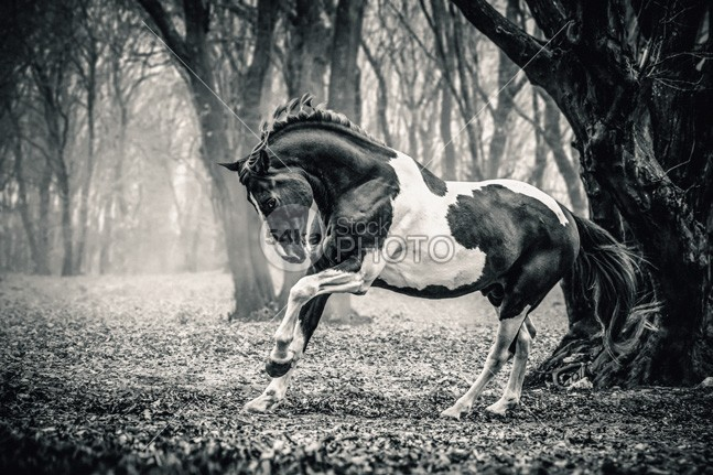 Horse in the forest shadow Running plant photo outside outdoors outdoor one nature mist mare mane mammal length image Idyllic horse head horse hors herbivorous green gray grass galloping horse gallop full forest Fog focus field fairy ethereal equine equestrian beauty equestrian domestic differential day dark color bridle breed black and white horse photography black and white bizarre beauty beautiful Art arabian animals animal active 54ka StockPhoto