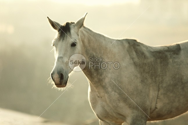 White Horse Vintage Portrait white western vintage vignette thoroughbred summer stallion stable rural portrait photo pet People pasture outside one old nobody nature mare mane mammal horse head grey green gray field farm face equine equestrian beauty equestrian ears domestic detail creature color closeup breed beauty beautiful background Art arab animal abstract 54ka StockPhoto