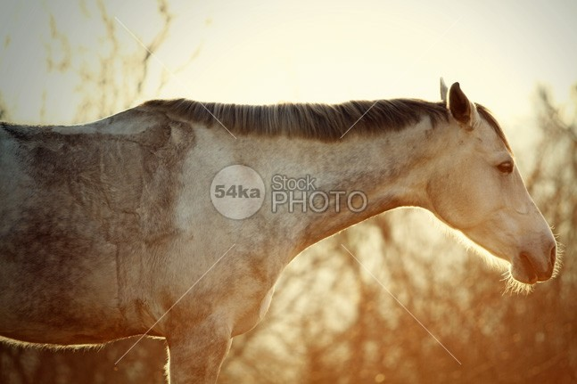 Winter Horse On The Sunset Sky young winter wild white sun strong stallion silver portrait pony photo pet outside nature mane mammal Male light horse head grey gray grace freedom free forest equine equestrian beauty equestrian emotions domestic color cold closeup close black beauty beautiful Art animal 54ka StockPhoto
