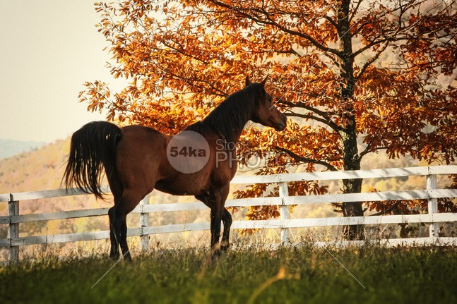 Horse in the beautiful shine autumn forest leaves leaf landscape intelligent horses horse hill haze hardwoods green grazing gray grass gold gelding forest firs feed farm famous fall colors fall eyes evergreen europe equitation equine equestrian landscape equestrian beauty equestrian environment elevation ecotourism ecology distance deciduous dark clouds chestnut bush brown breed blue black beauty beautiful bay background autumn animal alone 54ka StockPhoto