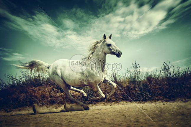 White Andalusian horse runs gallop in summer time raza pura portrait play photo pasture outside one nobody nature moving meadow mare mane mammal Male light horse horizontal hoofed high head grey green gelding game gallop freedom free force fast farm espanola equine equestrian emotions easy dust domestic Desert color clear canter beauty beautiful beam Art arabian animal andalusian air action 54ka StockPhoto