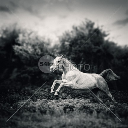 Beautiful white horse jump on the green forest background BW photo jump horsepower horse photography horse horizontal hooves head happy hair ground green gray grass galloping horse gallop fur funny fun friendly fresh freedom free forest flower field farmhouse farm eye event equine equestrian beauty equestrian enjoy energy domestic dandelion canter brown breed branch black beautiful white horse beautiful Art arabian arab animal andalusian amazing horse active action 54ka StockPhoto