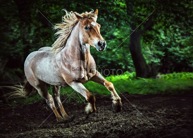 Beautiful strong horse galloping Stallion in the forest racehorse portrait photo pasture pastel panoramic paint outrunner outdoors outdoor orange nature mustangs mustang moving mountains mare mane mammal Male landscape jumping horses horse photography horse highland herd head grey green gray grass gelding gallop freedom flowers filly field farm face equine equestrian beauty equestrian brown breed beautiful bay background athletic Art animal amazing horse photography 54ka StockPhoto