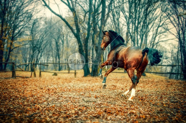 Horse in the beautiful forest power pony plant photo pet pasture park outdoor orange nature natural moving Motion mare maple mammal magical livestock light leaves leaf landscape horse horizontal green grass golden Galloping freedom forest foliage field fast farming farm fall equine equestrian beauty equestrian domestic daylight day bright beauty beautiful background autumn Art arabian arab animal action 54ka StockPhoto