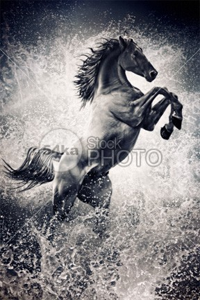 The Black Stallion Arabian Horse Reared Up water vertebrate vertebrata ungulate tropical sunset stallion single Silhouette sea rearing up rearing raising one ocean nature movement Motion mood mammalia mammal horse evening equine Equidae equestrian dusk domesticated domestic coast black stallion black beautyful horse beach bea atmospheric art print horse arabian arab animal adult action 54ka StockPhoto