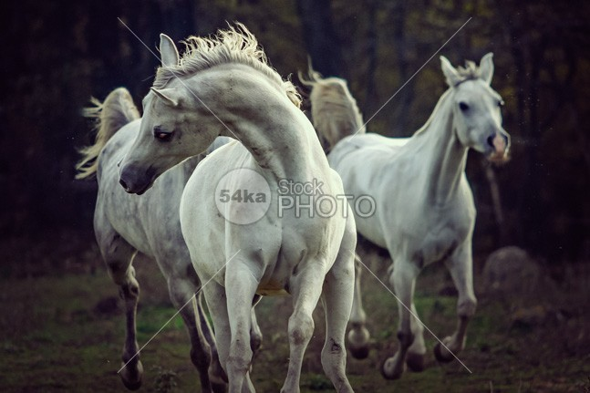 Three white horses Running stallions photo mane mammal Male light jump isolated horse images horse hoofed hoof herd group ground grey greatest horse photo gray Galloping gallop freedom free forward force fight fear fastest fast farm equine equestrian photography equestrian beauty equestrian emotions elegance dust domestic danger cream color chestnut canter body black beautyful horse beauty beautiful bay Art arabian animal action 54ka StockPhoto