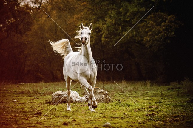 Beautiful white arabian horse in the forest photo pasture pace nobody nature moving Motion mare mane mammal Male livestock light hot horseback horse in the forest horse horizontal hoofed high grey grazing gray grass gelding gallop gait freedom free forest force fast farm equine equestrian beauty equestrian emotions dust domestic cute countryside cloudy cloud canter beauty beautiful autumn forest autumn Art Arabian Horse arabian animal 54ka StockPhoto