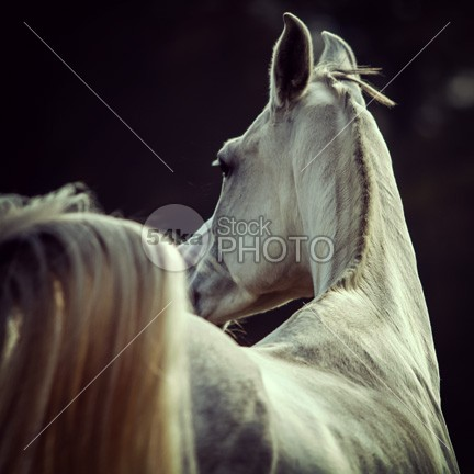 White horse looking behind photo nobody nature natural mane mammal looked back looked look back look lonely landscape inquisitive horse turned horse hills Harness grey green grassland grass graceful gelding flowers field farmland farm equine photo equine equestrian photography equestrian beauty equestrian domestic dark countryside country bushes blue blond behind Beauty In Nature beauty beautiful barn back Art Animal Head animal andalusian 54ka StockPhoto