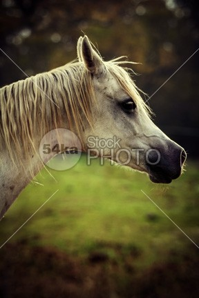 White arabian horse head photo paddock outside outdoors one nature moving mountain mare mane mammal looking img images horse photography horse head photo horse head horse hoofed hills head green grazing gray grace gelding freedom fence feild farm face eye equine equestrian beauty equestrian emotion elegance domestic countryside country color breed beauty beautiful attention Art arabian arab animal amazing horse photo active action 54ka StockPhoto