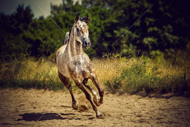 Beautiful arabian horse the photo pasture pace nobody nature moving Motion mare mane mammal Male livestock light in hot horseback horse horizontal hoofed high grey grazing gray grass gelding gallop gait freedom free forest force fast farm equine equestrian emotions dust domestic cute countryside cloudy cloud canter beauty beautiful autumn Art arabian animal 54ka StockPhoto