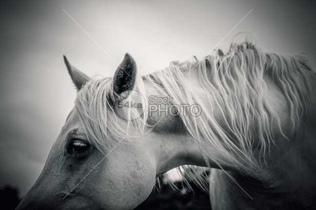 Beautiful Tender White Horse Portrait Close Up summer Success strong soft sleep silver scene rural recreation ranch race profile power portrait pet persheron peaceful nose nature key horse high heavy head hairy hair grey green grazing fur flies field feathers farm face evening equine art equestrian beauty equestrian emotions dream draft cute cold closeup close brown breeding blaze animal 54ka StockPhoto