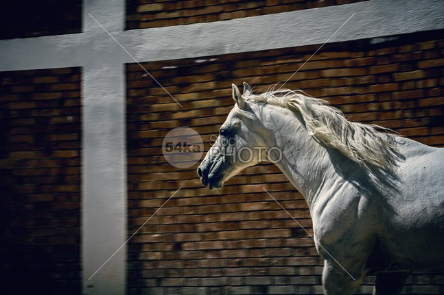 White horse in the stud natural moving Motion mare mane mammal Male house horseshoe horse power horse hoof herd head Harness halter hair grace gelding gallop fur force fence farmland farm face eye equine equestrian beauty equestrian emotion elegance domestic countryside country colorful color calm bridle breeding breed beauty beautiful barn attention arabian arab animal active action 54ka StockPhoto