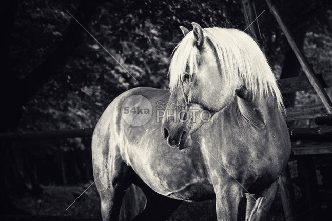 Haflinger Horse Equestrian Black And White Portrait mane mammal look long isolation isolated inquisitive horse photography horse horizontal head hair grey gorgeous gelding freedom free fragility fragile farm eyelash eye espanola equine equestrian beauty equestrian elegance ear domestic detail curious color closeup close breed body blue black and white black beauty beautiful bay background artistic Art animal andalusian andalusia active action 54ka StockPhoto