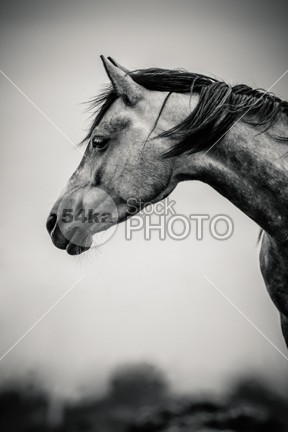 Portrait of Beautiful Horse in Black and White shot shiny rural ride ranch proud pride portrait pet pasture painting paddock outside outdoors one nostrils nobody nature Morning mare love look lonely inspiration horse head hair green friend freedom forest equine energy elegant dramatic cute countryside country competition color chestnut calendar beautiful bay attention arabian animal andalusian active 54ka StockPhoto