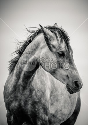 Arabian Horse Portrait in Black and White shot shiny rural ride ranch proud pride portrait pet pasture painting paddock outside outdoors one nostrils nobody nature Morning mare love look lonely inspiration horse head hair green friend freedom forest equine energy elegant dramatic cute countryside country competition color chestnut calendar beautiful bay attention arabian animal andalusian active 54ka StockPhoto