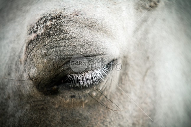 White horse eye with white cilia white horse white western west watch spot snaffle sad ride racine race portrait pony pinto pet mane mammal majestic macro look long horseracing horse head horse eye horse headshot head hair grey friend farmland farming farm face eyelashes eye equestrian beauty cute closeup close cilia champion calm bridle black best beautiful arabic arabian animal 54ka StockPhoto