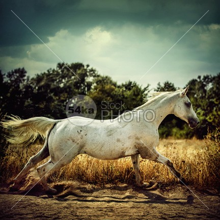 Arabian horse running in the field outdoor opposite moving movement Motion meadow mare mammal Male light inactive horsetail horse head green grass gelding galop Galloping gallop freedom fole Fire fields field fast farm exhibition equitation equine equestrian elegance eat dusty dust domestic day champion canter bridle breeder breed beauty background arabian animal agricultural Activity active action 54ka StockPhoto