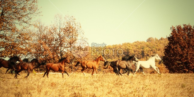 Horses Galloping in The Autumn Field silver sand Runner run rising power portrait pasture nobody nature moving mountain Motion meadow mane mammal Male light isolated horse horizontal hoofed high herd ground grey gray grass gallop freedom free forward force fastest fast farm equine equestrian beauty equestrian emotions dust Desert clear canter black and white beauty beautiful b&w Arabian Horse andalusian 54ka StockPhoto