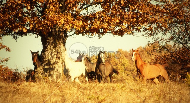 Horses Galloping in The Autumn Tree silver sand Runner run rising power portrait pasture nobody nature moving mountain Motion meadow mane mammal Male light isolated horse horizontal hoofed high herd ground grey gray grass gallop freedom free forward force fastest fast farm equine equestrian beauty equestrian emotions dust Desert clear canter black and white beauty beautiful b&w Arabian Horse andalusian 54ka StockPhoto