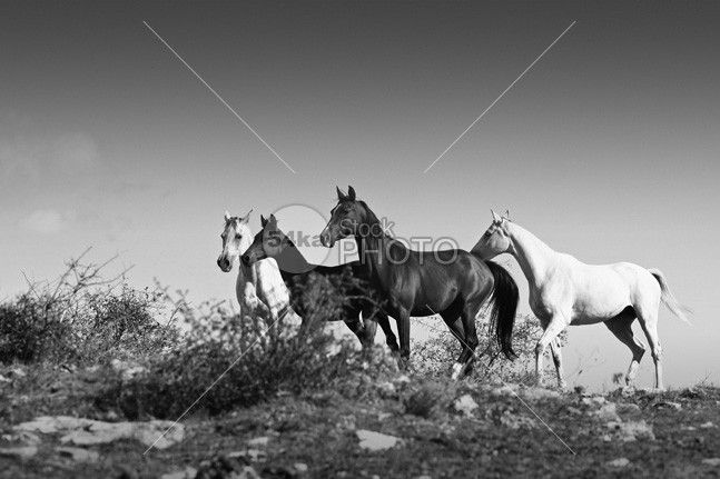 Horses running stallions – Black and White mane mammal Male light jump isolated horses horse images horse hoofed hoof herd group ground grey greatest horse photo gray Galloping gallop freedom free forward force fight fear fastest fast farm equine equestrian photography equestrian beauty equestrian emotions elegance dust domestic danger cream color chestnut canter body black beautyful horse beauty beautiful bay Art arabian animal action 54ka StockPhoto