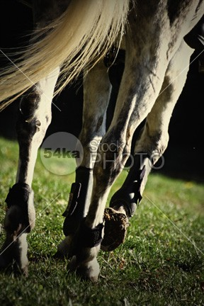 Horse legs running peeking paddok paddock outdoors out one object nobody next nature muzzle Motion mammal Male looking livestock little Lips legs horseshoes horseshoe horses horse hoofs His head gray grass field fence female farm eye equestrian beauty eating drops domestic diamond colored clean brown body blue blaze black beautiful background animals animal action 54ka StockPhoto