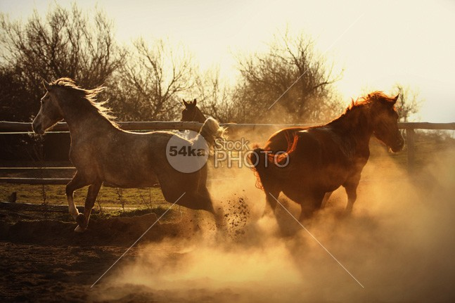 Two Horses Running In Paddock runs Running run resplendently pura power pony ponies photography photographer photo pets outdoors nature Motion mammal image horses horse horizontal hooves gray gorgeous galopp galloting Galloping gallop freedom famously excellently equine equestrian energy domestic day competitive competition cold blur beautyful beauty beautiful Art animals animal andalusian amazing 2 54ka StockPhoto