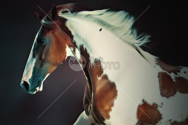 Portrait Of Galloping Paint Horse paint outside outdoor one nice nature moving movement meadow mare mammal landscape in wild horse stallion running horse stallion horse photo horse happy green grass go Galloping gallop freedom flowers field fast farm equine equestrian emotions ear domestic cute countryside country colourful color clean camera beauty beautiful paint horse beautiful attractive animal American amazing photography adorable active action 54ka StockPhoto