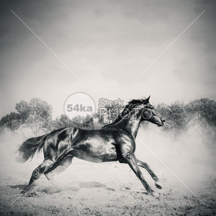 Black stallion horse Motion mare mane mammal looking light horsepower horse horizontal gray grass grace Galloping gallop forward force foal flying flight fastest fast farm eye equine equestrian beauty equestrian energy ear dust domestic dog Desert cute color cloud chestnut camera brown body blue black beautiful beast bay arabian arab animals animal andalusian action 54ka StockPhoto