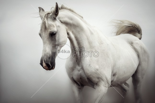 Beautiful White Horse on The White Background look inquisitive images horsepower horse portrait horse herd Heavy horse head hair grey gorgeous gelding Galloping fragility fragile focus field farm animals eye estuary equine equestrian photography equestrian beauty equestrian elegance ear draft horse domestic animals domestic detail curious closeup close card breed black bend Beauty In Nature beauty beautiful background b&w artistic Art arabian arab Animal Head Animal Body animal 54ka StockPhoto