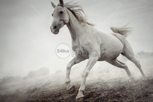 Beautiful White Horse Running in Mist winter white Running purebred pure mist Mammals horse hoofed gallop freedom Fog field farm equine equestrian beauty equestrian energy day countryside color breed beauty beautiful beast autumn attentive attention arabian animals animal active 54ka StockPhoto